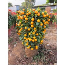 Chinese New Year plants (12 Inches Width)